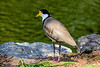 Masked Lapwing - Pllover