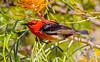 Scarlet honeyeater feeding on grevillia nectar