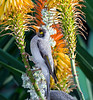 Noisy Miner with face full of pollen