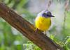 Eastern Yellow Robin (6)