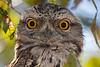 Tawny Frogmouth (3)