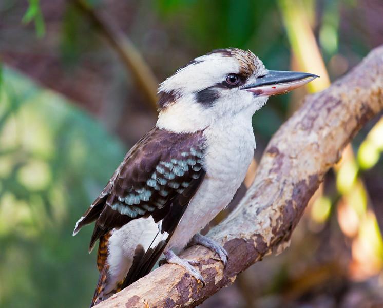 Kookaburra (4)