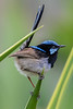 Superb Fairy Wren male (1)