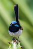 Superb Fairy Wren male (3)