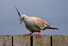 Crested Pigeon (2)