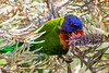 Rainbow Lorikeet (1)
