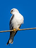 Black-shouldered Kite (3)
