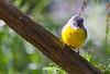 Eastern Yellow Robin (5)