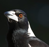 Australian Magpie (2)