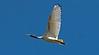 Australian White Ibis (2)