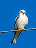 Black-shouldered Kite (1)