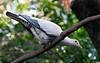 Torres Strait Pigeon (2)