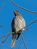 Australasian Figbird Juvenile (1)