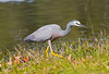 White Faced Heron (8)