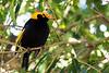 Regent bower bird (3)