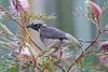 Noisy Friarbird 3