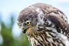 Juvenile Barking Owl (1)