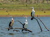 Pied Cormorants (3)