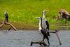 Pied Cormorant (2)