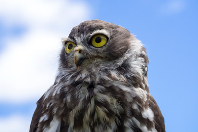 Juvenile Barking Owl (5)
