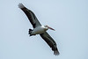 Australian Pelican (3)