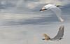 Intermediate Egret (4)