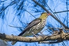 Olive Backed Oriole (3)