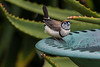 Double Barred Finch (1)
