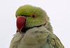 Australian King Parrot juvenile