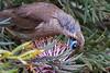 Little Friarbird (4)