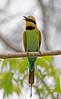 Rainbow Bee Eater (6)