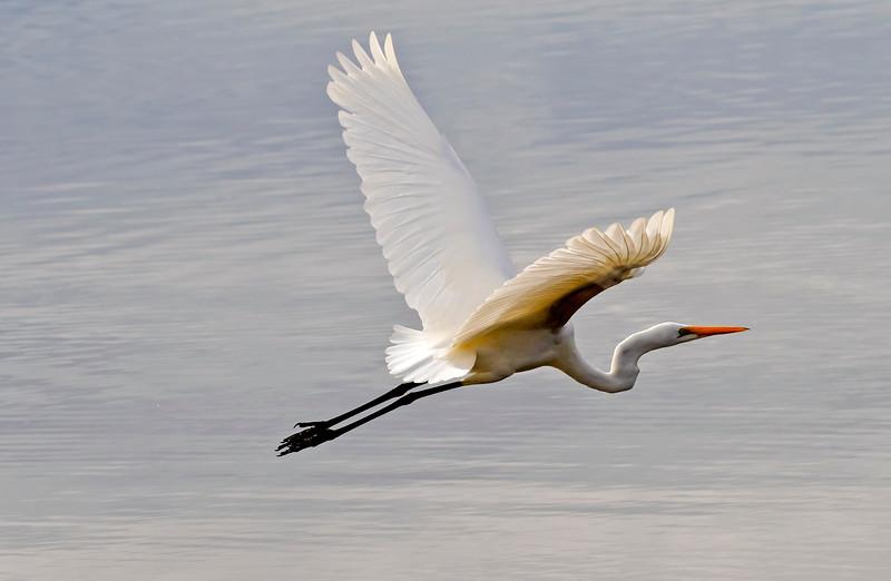Intermediate Egret (3)