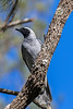 Black faced Cuckoo Shrike (2)