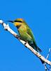 Rainbow Bee Eater (2)