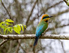 Rainbow bee-eater (4) - Copy