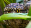 Peek-a-booTawny Frogmouth