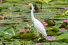 Intermediate Egret (8)