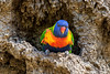 Rainbow Lorikeet nesting in termite mound (2)