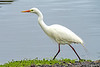 Intermediate Egret - Breeding Plumage (2)