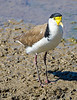 Masked Lapwing - Plover
