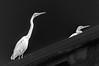 Intermediate Egrets On Roof