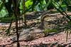 Bush Stone Curlew (4)
