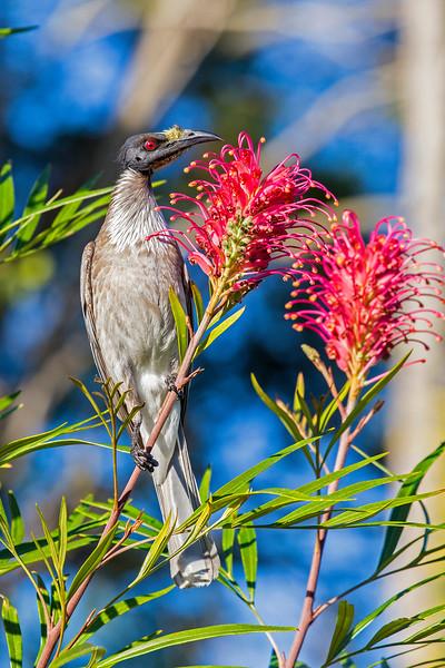 Noisy Friarbird feeding on Grevillea nectar (5)