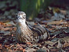Bush Stone Curlew (3)