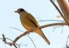 Australasian Figbird 3