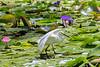 Little Egret (5)