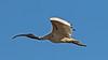 Australian White Ibis (6)