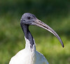 White Ibis (4)