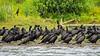 Cormorant Colony (2)