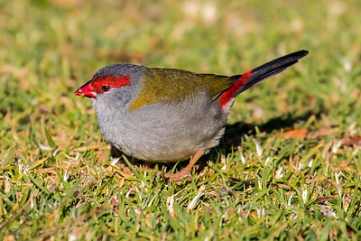 red browed finch (2)